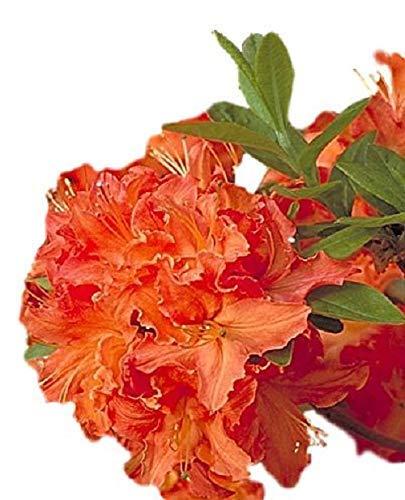 (Mandarin Lights Orange Deciduous Azalea - Live Plant - Trade Gallon Pot)