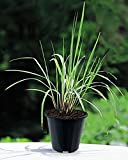 Lemongrass Live Plants 10'' TALL In Black Pots Non GMO ORGANIC TWO (2) HEALTHY LIVE PLANTS - Premium Herb Plants MOSQUITOES REPELLENT Very EASY Grow Strong Root System - LEMONGRASS CYMBOPOGON CITRATUS