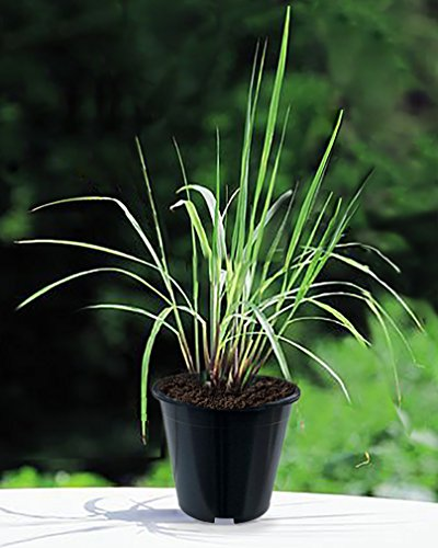"""Lemongrass Live Plants 10"""" TALL In Black Pots Non GMO ORGANIC TWO (2) HEALTHY LIVE PLANTS - Premium Herb Plants MOSQUITOES REPELLENT Very EASY Grow Strong Root System - LEMONGRASS CYMBOPOGON CITRATUS"""