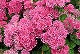 Organic Flower seeds Ageratum ''Pink Flame''(Ageratum houstonianum) - 100 SEEDS.