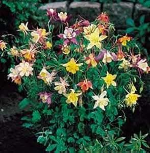 Aquilegia caerulea Star Mix 500 seeds
