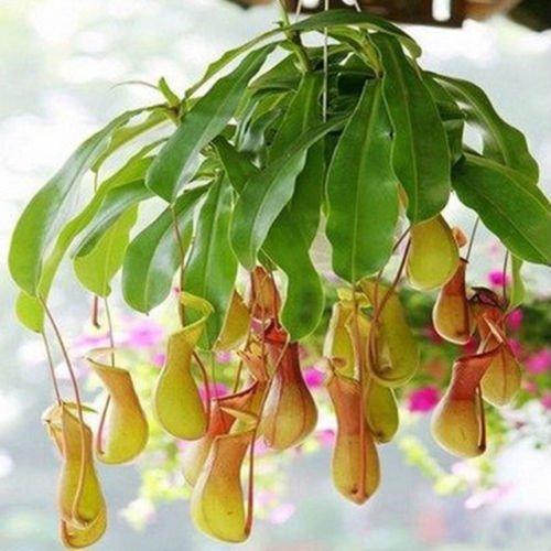 (25 Seeds Hanging Pitcher Plant Carnivorous Flower Flytrap Bug Eating Exotic)