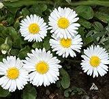 2000 Bellis Seeds - White - Single - English Daisy