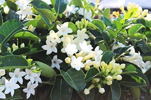Lulan Madagascar jasmine vine rare exotic flower seed 10 ()