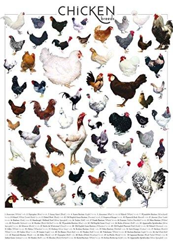 bribase shop Chicken Breeds Details With Poultry Chicken Breeds Of Poster 36 inch x 24 inch/20 inch x 13 inch ()