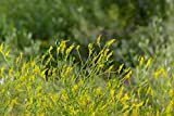 Yellow Sweet Clover Pasture Seed (25 LBS)