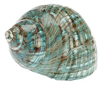 Turbo NaDeco marmoratus pulido, aproximadamente 7 cm | Turbo Burgos | Gran concha de caracol