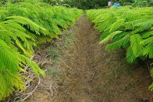 10 Acacia Pennata Cha-om Seeds Vegetable Heirloom