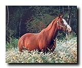 Caspian Horse in Daisy Field Wildlife Animal Wall Decor Art Print Poster (16x20)