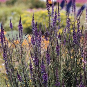 Linaria (Toadflax) purpurea Purple Beauty 2,500 seeds