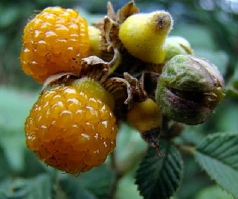 Rubus ellipticus - Golden Himalayan Raspberry - Yellow Himalayan Raspberry - 10 seeds