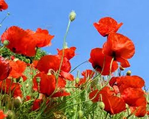 Poppy Red Corn Poppy3000 Seeds+free Shipping
