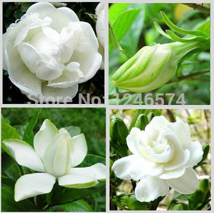 2PCS / bag, Gardenia seeds, Cape Jasmine real seed, potted seed, flower seed, the budding rate 95%, Free - Potted Gardenia