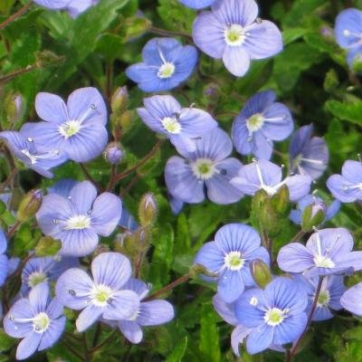 Classy Groundcovers - Veronica 'Georgia Blue' 'Oxford Blue', Cambridge Blue', Speedwell 'Georgia Blue' {25 Pots - 3 1/2 in.} by Classy Groundcovers (Image #5)