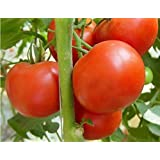 Creative Farmer F1 Variety Tomato Seeds (Pack of 30 Seeds)