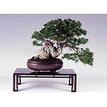 Bonsai seeds 50Pcs Japanese pine tree seeds,bonsai Pinus thunbergii seeds rare bonsai japanese flower seeds alpine Home&Garden