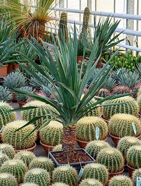 Kanarischer Drachenbaum, ca. 110 cm, Balkonpflanze hoch-Sichtschutz, Terrassenpflanze halbschattig-schattig, Kübelpflanze Westbalkon-Ostbalkon, Dracaena draco, im Topf