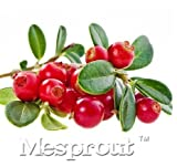 New Home Garden Plant Cranberry Vaccinium Macrocarpon Fruit 10+ Seeds -MIX