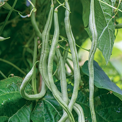 - Burpee Fortex Pole Bean Seeds 2 ounces of seed