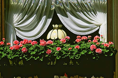 Window Box with Pink Geraniums, 13x19 inch fine art print, Amsterdam, Netherlands, Europe Holland landscape photo nature photography wall art home office decor, signed by the artist.