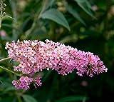 Peach Cobbler Flutterby Grand Butterfly Bush - Live Plant - Quart Pot