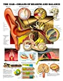 The Ear - Organs of Hearing and Balance, Anatomical Chart Company Staff, 1587797232