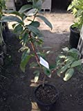 9EzTropical - Taiwan Black Dinamond Wax Apple Fruit Tree - 3 to 4 Feet Tall - Ship in 3 Gal Pot