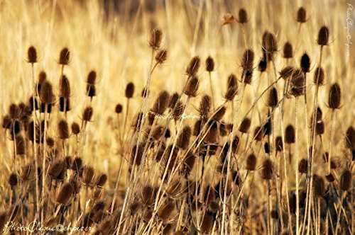 Golden Teasel / Wildflower Seed Pods / Rustic Nature, Landscape / Fine Art Photography Print