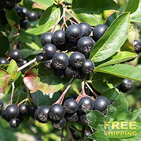 BLACK CHOKEBERRY Aronia Melanocarpa FREE S/&H 50 SEEDS