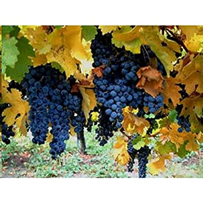 12 Seeds Vitis vinifera (Common Grape Vine)