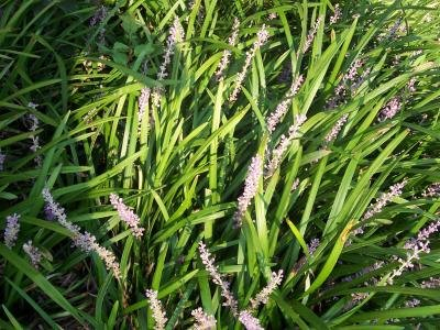 Classy Groundcovers - Liriope spicata {50 Bare Root Plants} by Classy Groundcovers (Image #3)