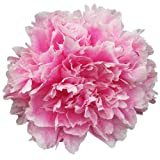 Sarah Bernhardt Peony Bare Root Plant - Double Pink Bare Root 3-5 Eyes
