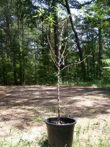árbol De Almendras Sin Pareil De 4 Pies 0 18 Oz Para árboles Plantas Nueces Barco A Los 50 Estados Unidos Jardín Y Exteriores
