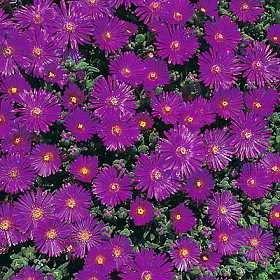 - Delosperma (Ice Plant) floribunda Starburst 250 seeds