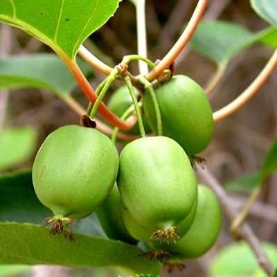 Actinidia arguta Issai KIWI FRUIT VINE Exotic SEEDS! : Garden & Outdoor
