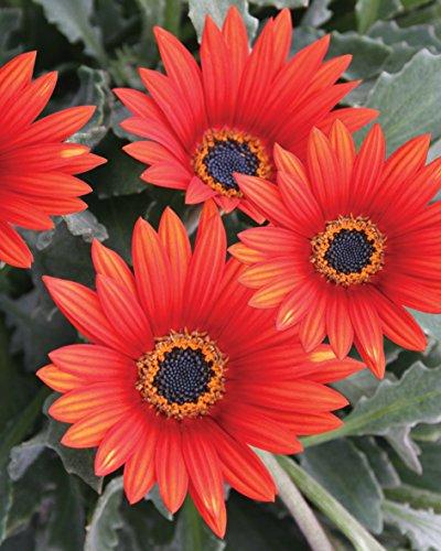Creative Farmer Flower Seeds For Winter Daisy Red Mixed Flower Seeds   Kitchen Garden Pack
