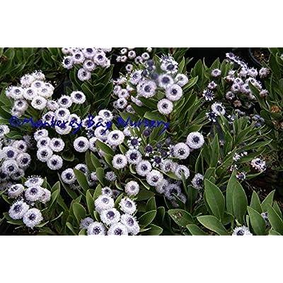 AchmadAnam - Live Plant - Globularia 'Blue Eyes' - 1 Plants - 1 feet Long - Ship in 1 gal Pot. E9 : Garden & Outdoor
