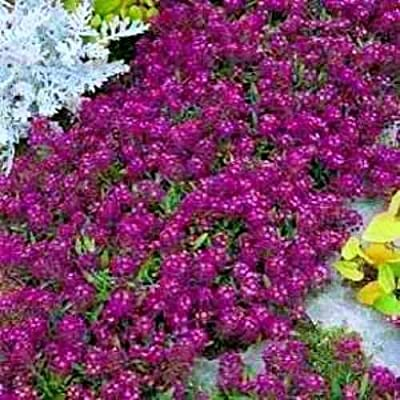 500ct of Alyssum Seeds, Oriental Nights, Ground Cover Seeds, Bulk Seeds, Heirloom : Garden & Outdoor