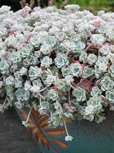 Perennial Farm Marketplace Sedum spathulifolium 'Cape Blanco' ((Stonecrop) Groundcover, 1 Quart, Silvery Blue Foliage