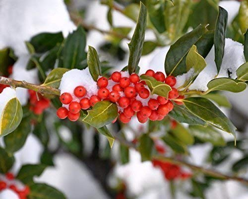 Boughs of Holly in the Snow Botanical Print -