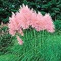 Pampas GRASS PINK Cortaderia jubata 500+ seeds