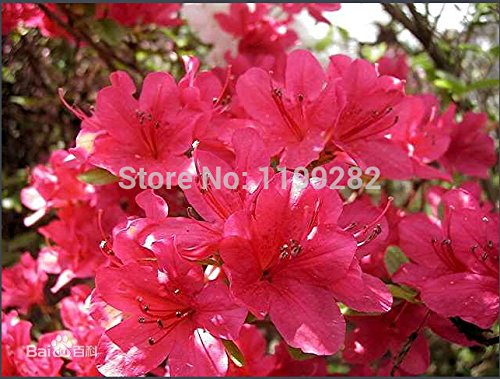 100 SEMILLAS - 100% Originales - azaleas rododendro simsii Semillas (A10024) - semillas de flores de plantas bonsai * SVI