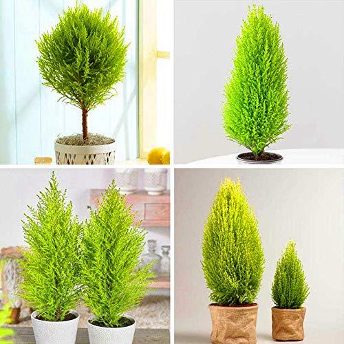20PCS Mini Cypress (Cupressus Sempervirens) Tree Species Popular Hadi Plant Bonsai for Home Garden Planting Decoration