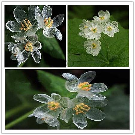 200 Seeds Rare Heirloom Skeleton Flowers Astilboides tabularis Bonsai plants