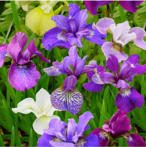 - Seeds House- Caiuet Iris Flower Seeds
