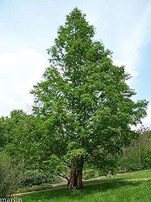 Dawn Redwood Tree