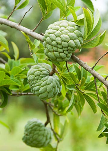 Sugar Apple Tree - Sweetsop Annona