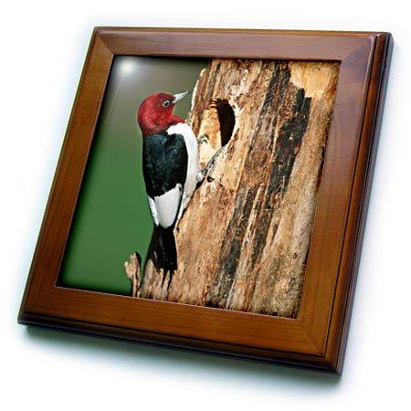 3dRose Red-Headed Woodpecker at nest site, Illinois Framed Tile, 8 x 8