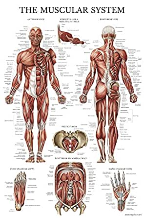 Muscular System Anatomical Poster - LAMINATED - Muscle Anatomy Chart ...
