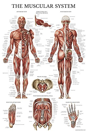 Muscular System Anatomical Poster - LAMINATED - Muscle Anatomy Chart - Double Sided (18 x 27) - Skeletal System Poster